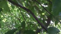 农村小伙去果园给果树砍树枝,好有经验哦