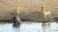 犀牛泡澡被3头狮子围攻,犀牛:难道我洗白白,是为了让你吃吗?