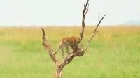 豹子偷袭野猪宝宝,被猪妈妈撞飞迅速上树,整套动作行云流水!