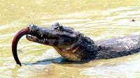 鳄鱼看见电鳗,冲上去咬了一口,镜头记录鳄鱼逃跑全过程!