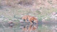 老虎正趴着喝水,忽然感觉背后不对劲,老虎立马撒腿就跑!