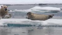 一只海狮正躺着休息,北极熊从背后猛蹿而出,一瞬间战斗就结束了