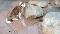 二哈一屁股坐在喷泉口上,不料突然喷水了,下三秒我肚子都笑痛了!
