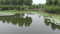 """记得大明湖畔的夏雨荷吗,今天我们在北龙湖""""遇见了夏雨荷"""""""