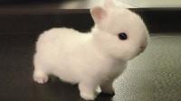 兔子客厅乱窜看晕主人,被训斥后傲娇撒泼,主人:莫非养了只二哈