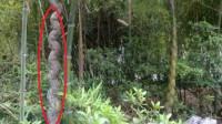 老人菜地种了一棵竹子,然而竹子却变异了,专家看后:你发财了!