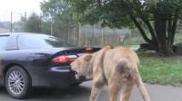 狮子一口咬住汽车尾部,司机一脚油门踩下去,意外的事情发生了