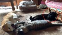 """捡来的猫咪几天就跟狗子好上了,在一旁的""""前任""""敢怒不敢言"""