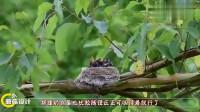 见过攀雀织鸟巢吗?像是织毛衣一样,网友:太用心了!