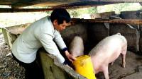 禁止剩饭剩菜喂猪!专家:为了人们的健康考虑,你怎么看?