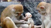 猴子家族相处会像人们一样吗?这也太有趣了吧!镜头记录猴子一家