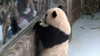 熊猫向游客炫耀苹果,结果被二货一把抢走,瞬间一脸委屈!