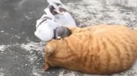 当不怕死的鸽子遇上心大的猫,玩得如此开心?猫的尾巴是咋啦?