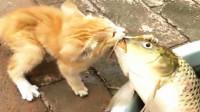 猫看见大2倍鱼,二话不说咬住鱼嘴往外拖,下一秒忍住别笑出声