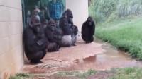 一群大猩猩在避雨,接下来的事情让人意想不到,镜头拍下全过程!