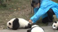 熊猫宝宝一塌糊涂,一旁奶妈看不下去,抓起小尾巴擦拭很逗人