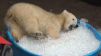 小北极熊头一次看到冰,竟像二哈一样在冰里打滚,看着心酸又好笑