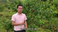 农村小哥包果园,500棵果树已挂果,老板要价1万元,值不值?