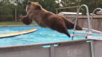 棕熊私闯民宅霸占游泳池,朝泳池里跳去,跳水的姿势能打几分呢?