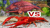 老外把龙虾和食人鱼放一起,大战一触即发,镜头记录全过程!