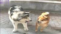 哈士奇和柴犬一言不合打起来,二哈神操作虐狗,不是纯种的吧