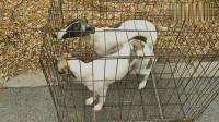 主人带了两条小惠比特犬来到狗市,这种狗好瘦,很多人称其为细狗