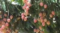 非洲贵族才能吃到的水果,中国人去种植后,如今却泛滥成灾