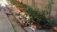 居民在小区里种猫薄荷,早晨起来开门,看到眼前一幕有点不敢相信