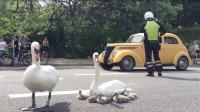 大白鹅大胆路口休息,交警煞费苦心指挥交通,国宝级待遇