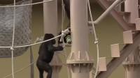两只猩猩的无声较量,打赢的一方很得意