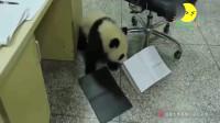 熊猫宝宝想帮奶妈整理书桌,结果掉到了地上,太可爱了