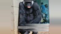 抓拍!大猩猩纷纷避雨,表情到位!