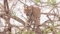 老虎上树抓猴子,猴子还没抓到,下一秒出糗了