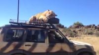 老虎跳到汽车上,司机慌乱中一脚踩油门,下一秒出糗了!