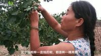 种山楂和苹果哪个更赚钱?老果农:这果一颗就半斤,一棵树80多斤