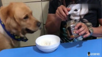 主人吃饭时抱怨伙食太差,金毛拿来自己的骨头,放在他的碗里,太逗了!