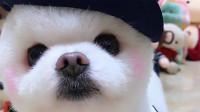 这堆布偶里面有一只是真狗狗,你能找到它吗,好萌呀!