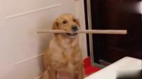 金毛妈妈听见有人要把狗宝宝拿走,金毛拿着棍子堵在门口,感动