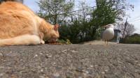 流浪猫吃猫粮引来一只鸟,鸟想吃又不敢动:我也想尝一尝
