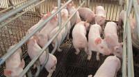 """猪身上最脏的器官,有大量寄生虫与""""癌细胞"""",很多人还傻傻当美食"""