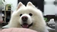 狗狗趴在沙发上望着你,突然对你笑了,这小模样真是萌翻了