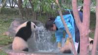 熊猫见饲养员给别的熊猫洗澡,瞬间怒了,下一秒的举动憋住别笑!