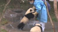 熊猫坐在水坑里,之后不停地示意饲养员帮它洗澡,模样简直萌翻了