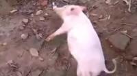 猪界里智商最高的小猪,为吸引同伴的注意力,可谓是煞费苦心!