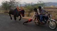 作死小伙骑摩托挑衅水牛被追,场面太刺激了!