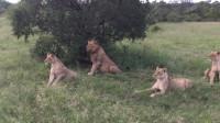 野猪故意惊醒睡觉狮群,接下来大家别笑,狮子:皮这一下很开心?