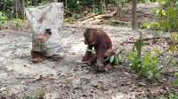 """红毛猩猩""""装鬼""""吓唬同伴,结果被按在地上一顿揍,忍住别笑"""