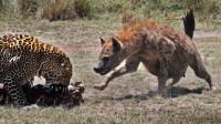 最悲惨的疣猪!前面有豹子咬住脖子,后面被鬣狗活活生吃