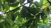 家里后院的番荔枝,,一整棵树都长满了果实