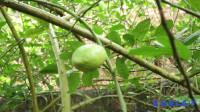 一小棵柠檬树,长了那么多果实,神奇了